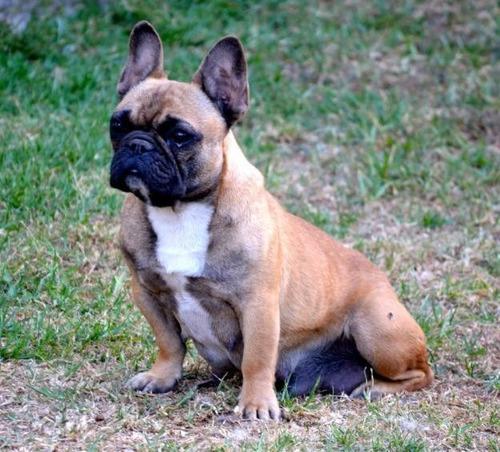 bulldog frances fawn mascara negra hembra