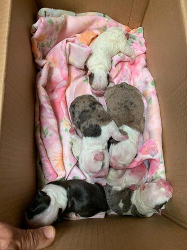 bulldog frances fawn merle disponible para montas