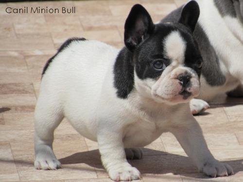 bulldog frances femea preta e branca gen blue, pedigree cbkc