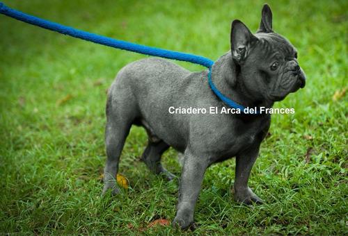 bulldog frances frances