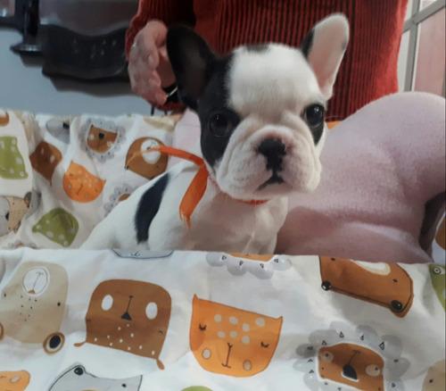 bulldog francés hembras con papeles
