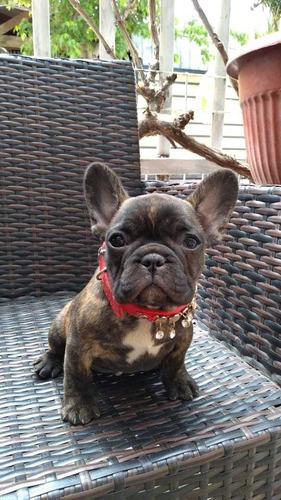 bulldog francés hembras inscritas