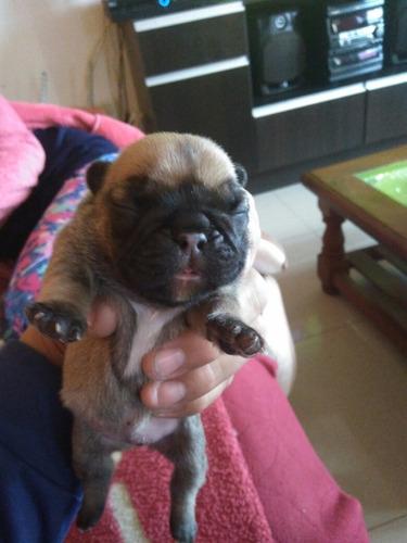 bulldog francés hembritas