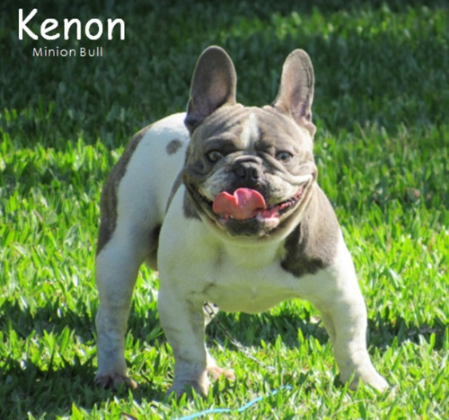bulldog frances macho pied top com gen blue com pedigree