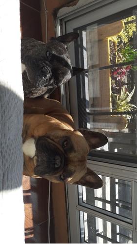 bulldog frances machos y hembras  para retirar fines marzo
