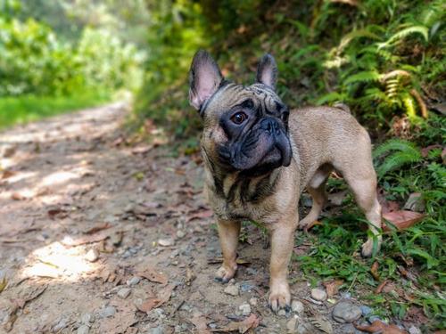 bulldog francés medellín fawn disponible para monta.