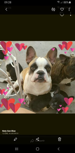 bulldog francés merle 1 años y 7 meses vendo macho