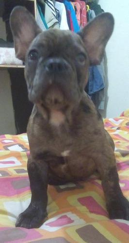 bulldog francés merle