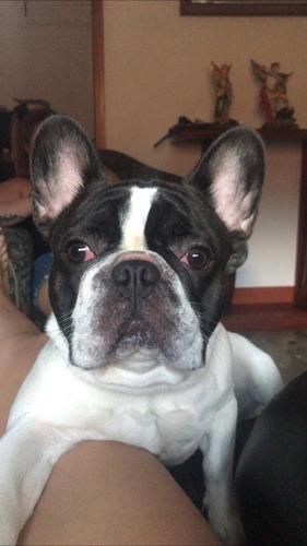 bulldog frances monta