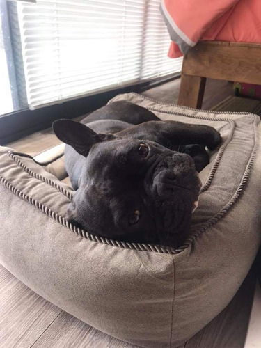 bulldog francés monta