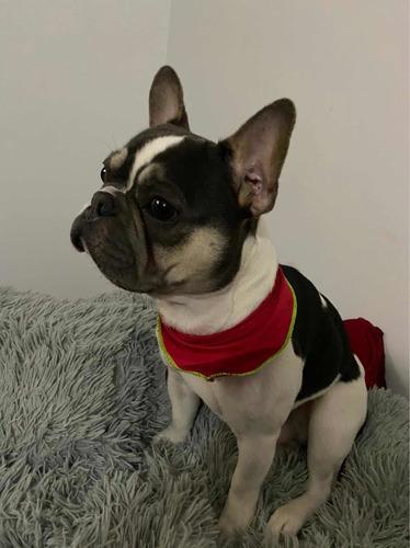 bulldog francés para monta exótico excelente genética