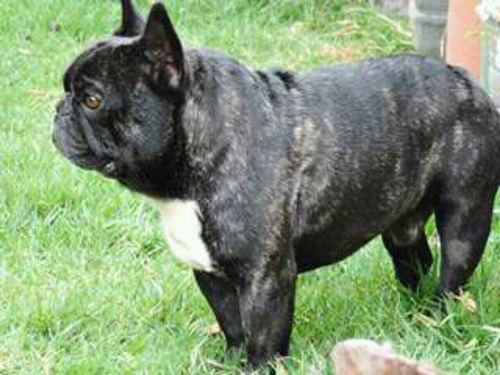 bulldog frances semental