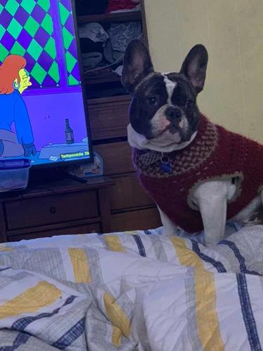bulldog francés semental listo para la acción con una amiga