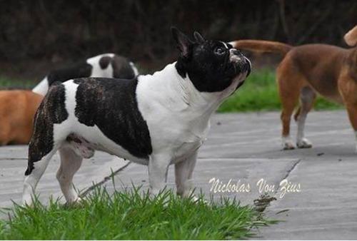 bulldog francés servicio
