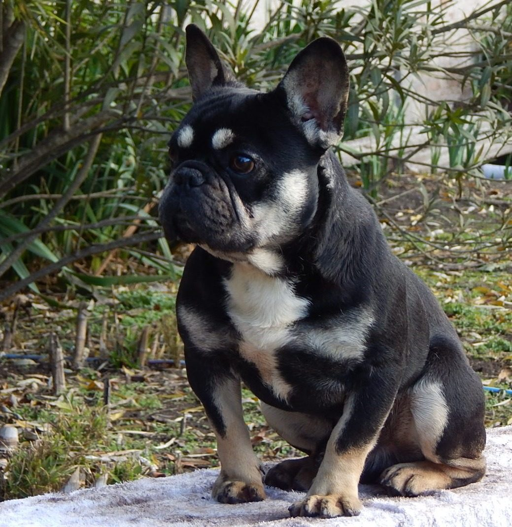 Bulldog Frances Servicio Blue Black And Tan 3000000 En