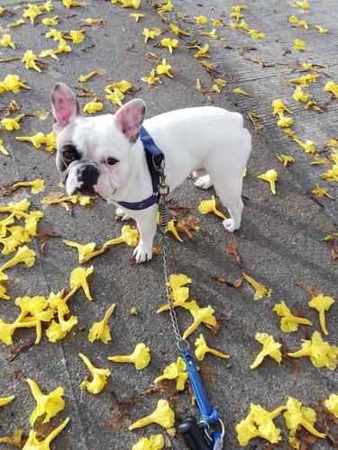bulldog francés servicio de montas