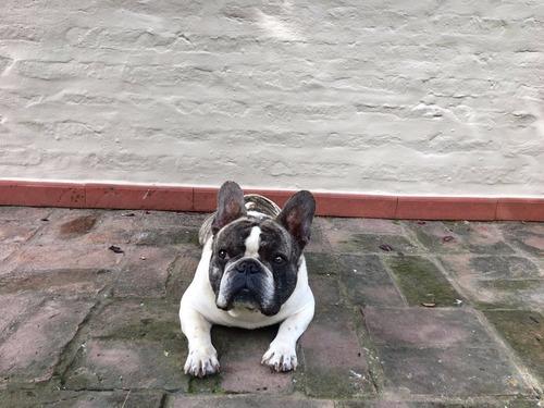 bulldog frances servicio fca felipe