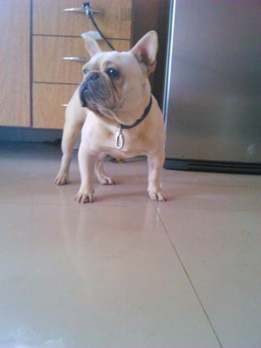bulldog francés servicio stud