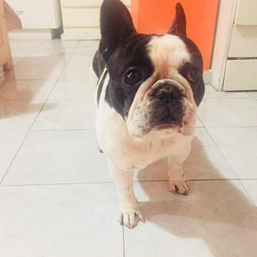 bulldog francés vaquita para servicio de monta