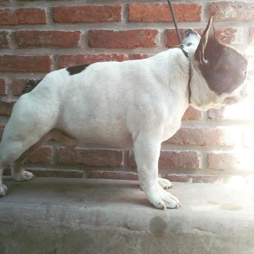 bulldog francés vaquita servicio stud