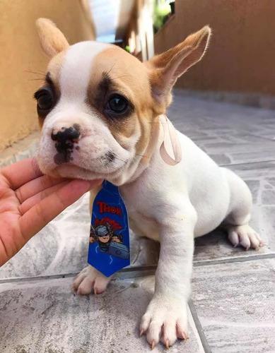 bulldog francês anão