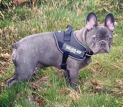 bulldog francês blue sólido cobertura, cruza, monta