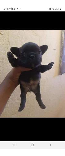 bulldog francês femêa tigrada