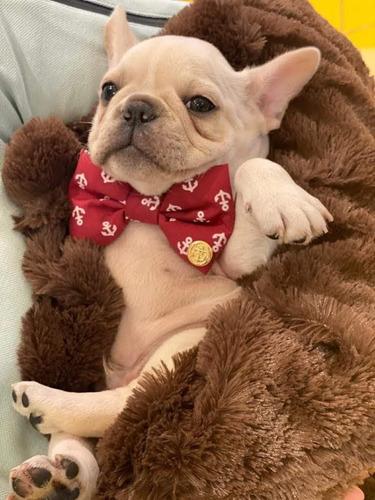 bulldog francês macho pronta entrega guarulhos sp