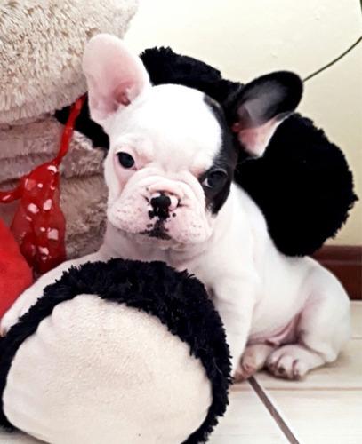 bulldog francês pirata