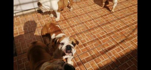 bulldog ingles 1 macho 3 hembras