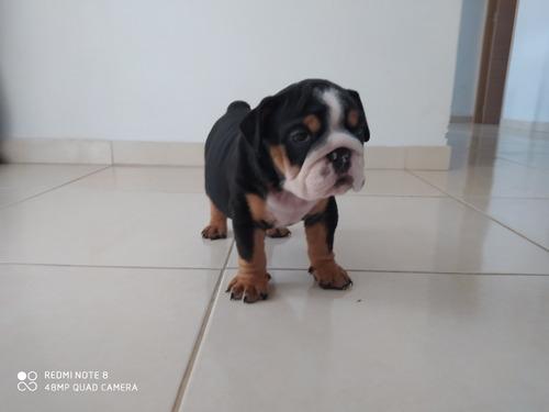 bulldog ingles black tri triple carrier