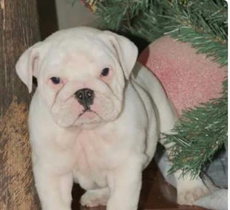bulldog inglés blanco