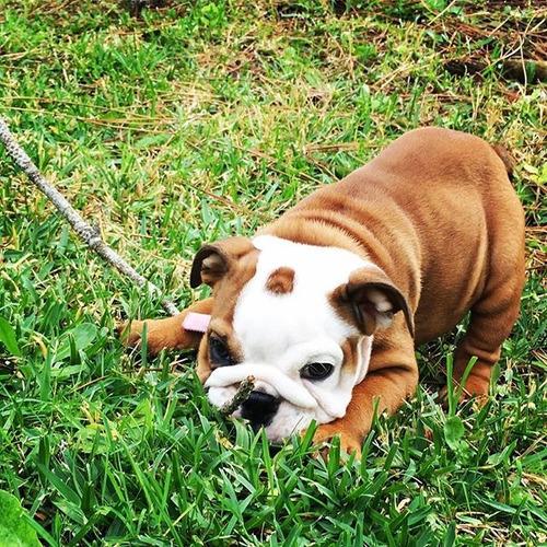 bulldog ingles bull dog  medellin  bogota cali barranquilla