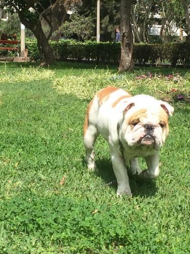 bulldog inglés busca novia