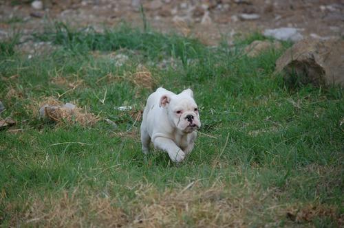 bulldog ingles  cachorra blanca