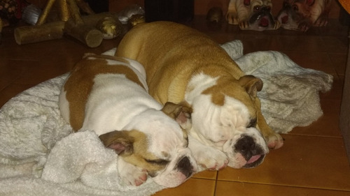 bulldog ingles cachorros disponibles