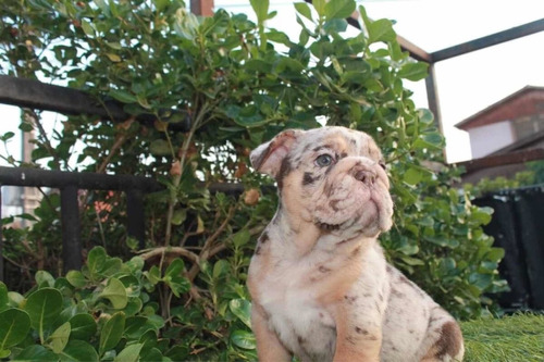 bulldog inglés choco merle