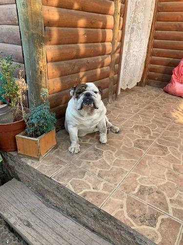 bulldog inglés cruza hijo campeón chileno