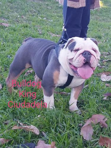 bulldog ingles en servicio