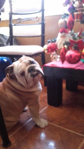 bulldog ingles en servicio de stud