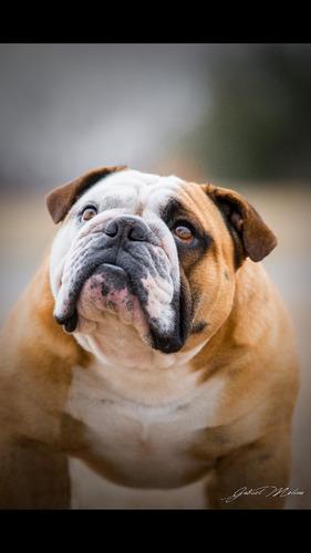 bulldog ingles en servicio de stud. evander de kingdombulls.