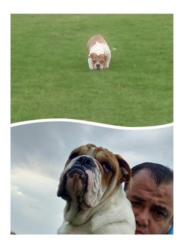 bulldog inglés exótico