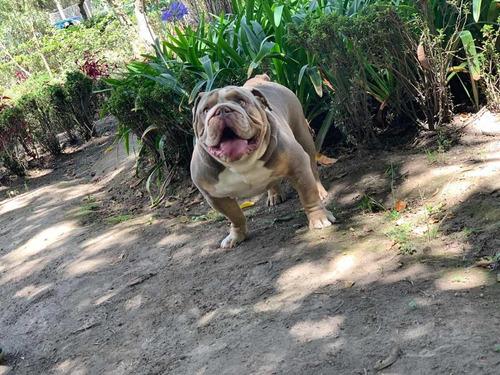 bulldog ingles exotico lilac tri servicio de montas promo!