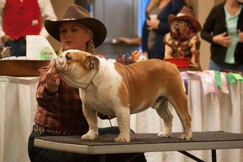 bulldog ingles filhotes netos de campeão americano, show