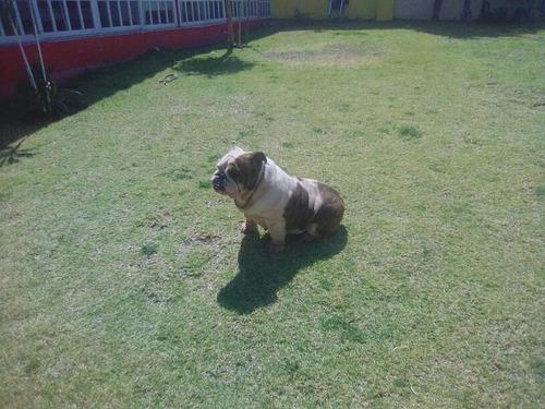 bulldog inglés hembra 4 y medio años pedigri
