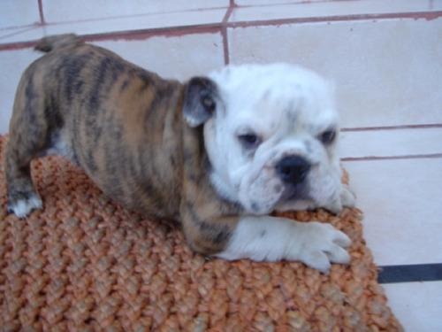 bulldog inglés, impresionantes cachorritos, finísimos!
