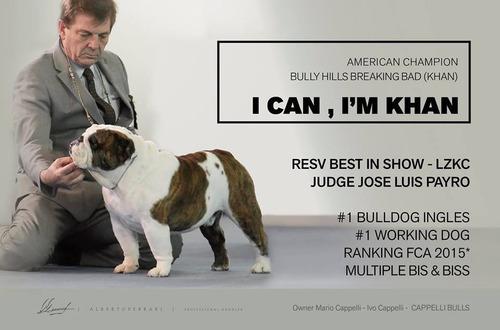bulldog ingles la mejor linea de sangre hembra y macho