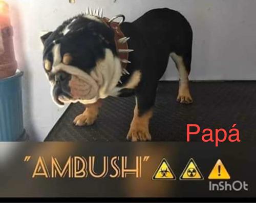 bulldog inglés macho exótico
