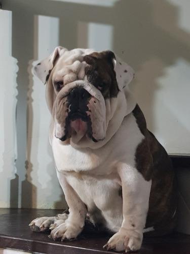 bulldog ingles para cruza