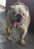 bulldog ingles para cruza - macho extranjero inseminación $0